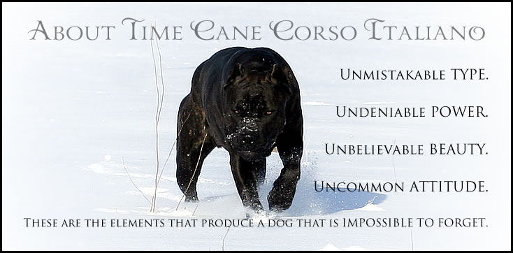 About Time Cane Corso Italiano - Breeder of Show, Working ...